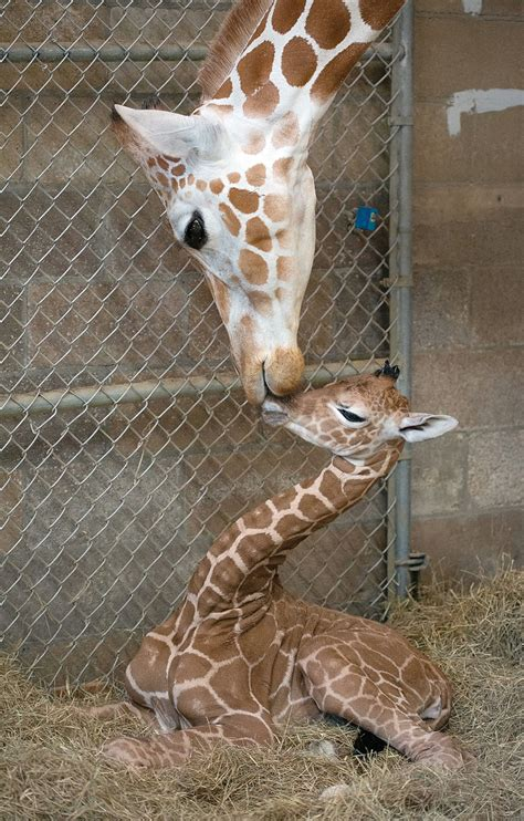 Female giraffe born: Zoo Knoxville welcomes first baby of