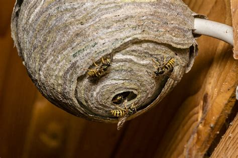 How to Prevent Wasps From Building a Nest   ThriftyFun