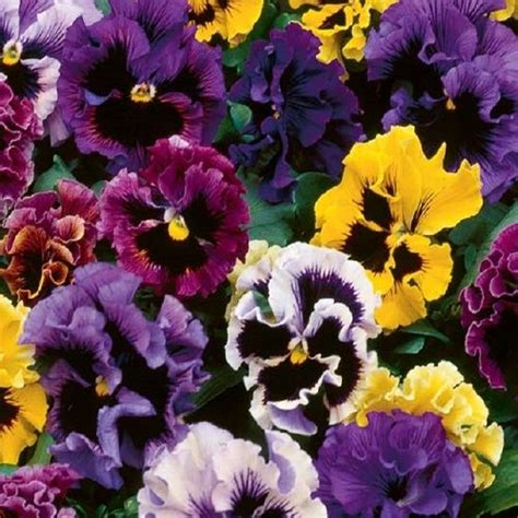 pansy-frizzle-sizzle-mix-25-seeds-5794-p