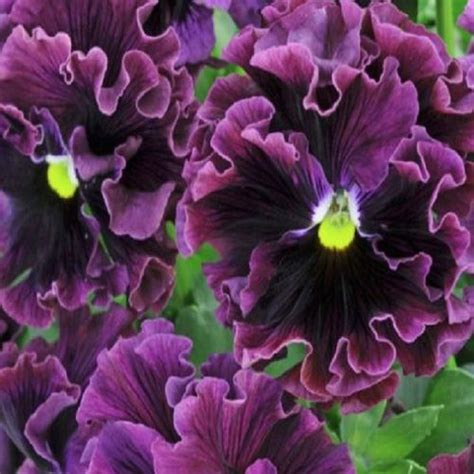 pansy-frizzle-sizzle-burgundy-25-seeds-5791-p